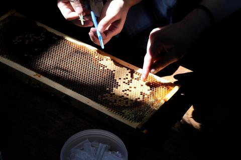 Extracting royal jelly from a beehive frame