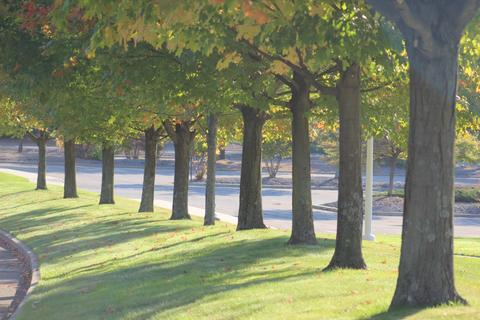 Maple trees on West Campus Drive.